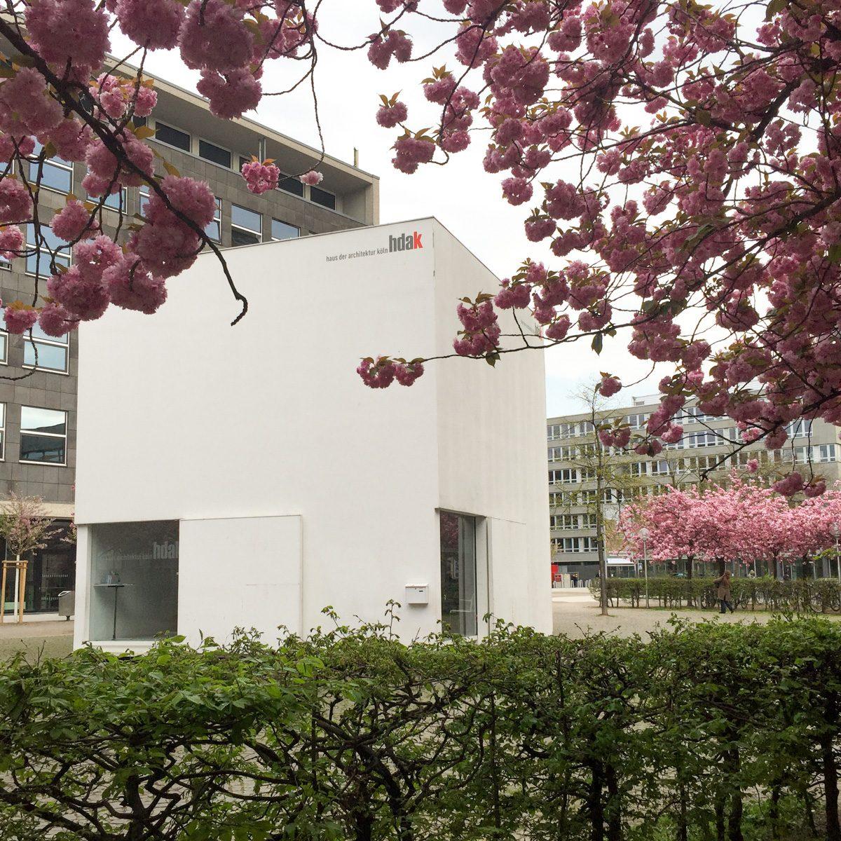 Japanische Kirschblüte am Josef-Haubrich-Hof
