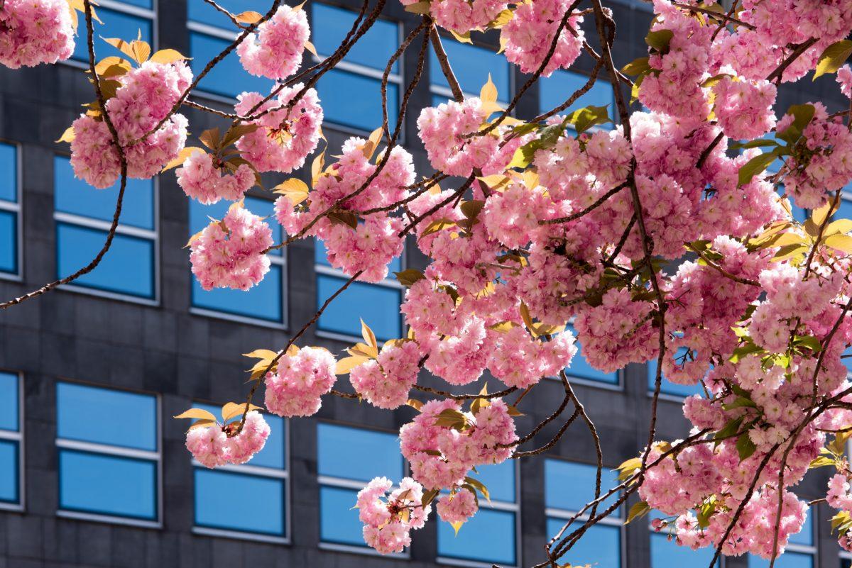 Und nochmal: Japanische Kirschblüte am hdak